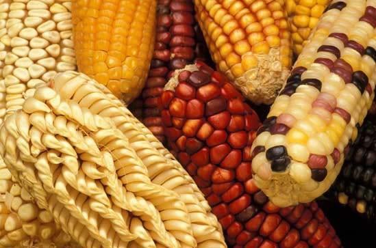 Clases maiz