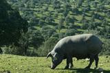 Cerdo ib%c3%a9rico col