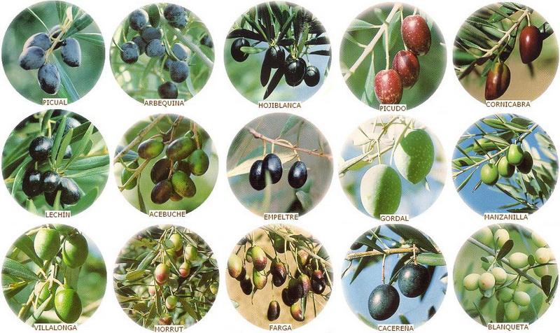 variedades de aceituna