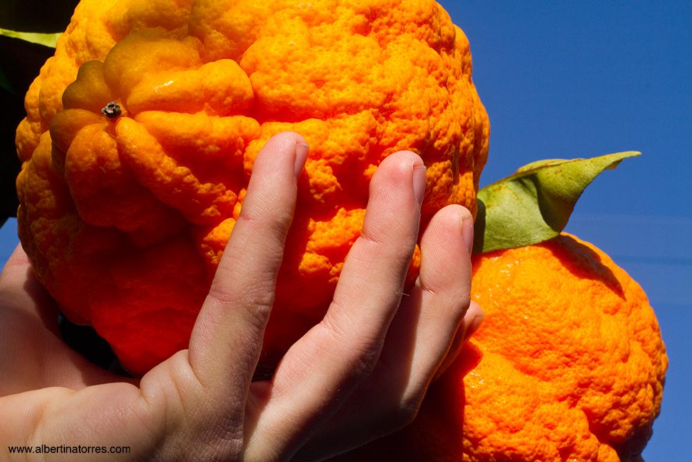 Citrus Limonimedica Maxima