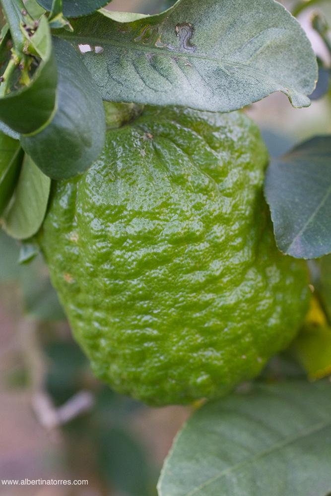 Citrus Limonemedica maxima