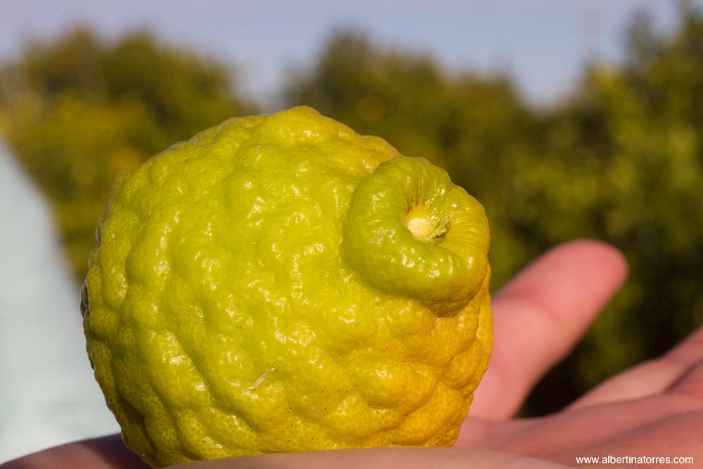 Citrus Histrix (Kaffir Lime)
