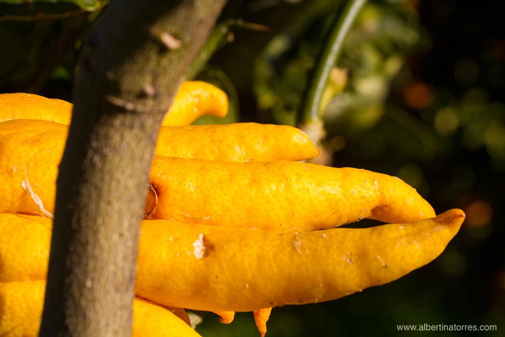 Citrus Medica Digitata (Mano de Budha)