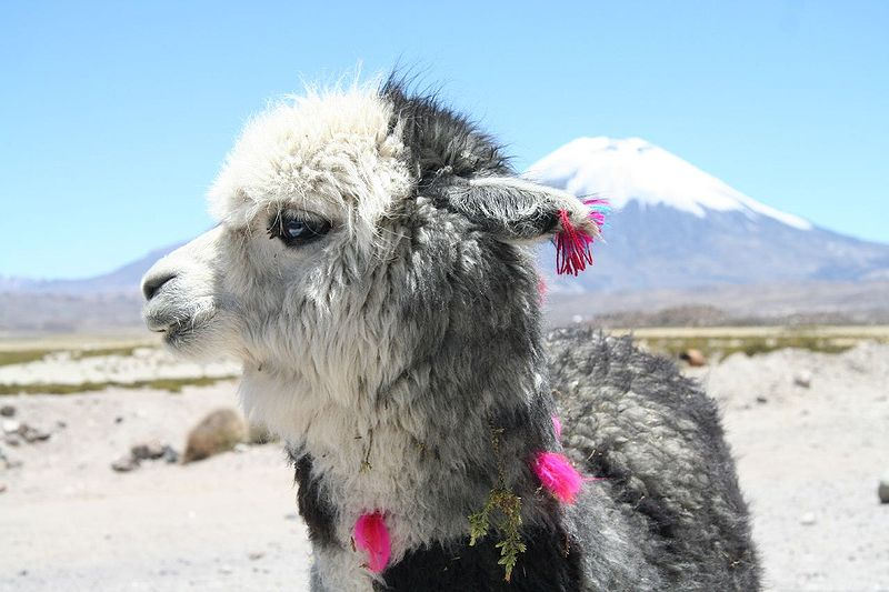 Queso alpaca