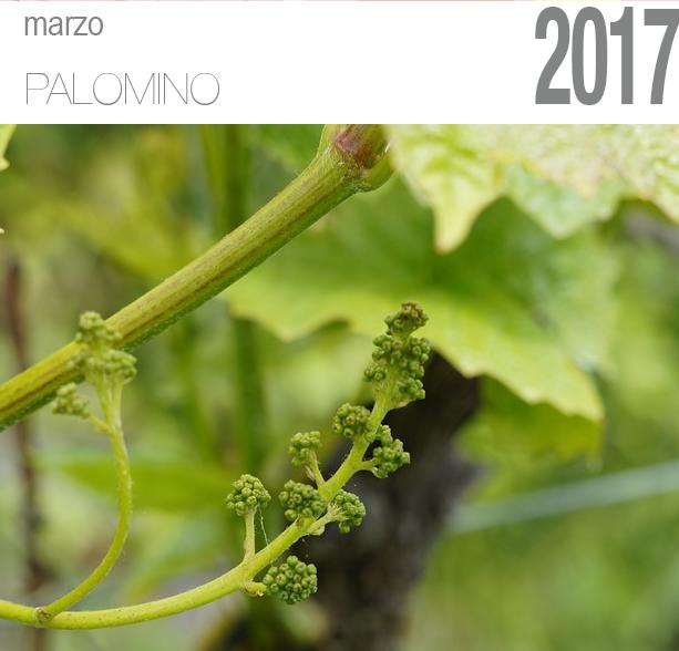 Uva palomino en periodo de floración