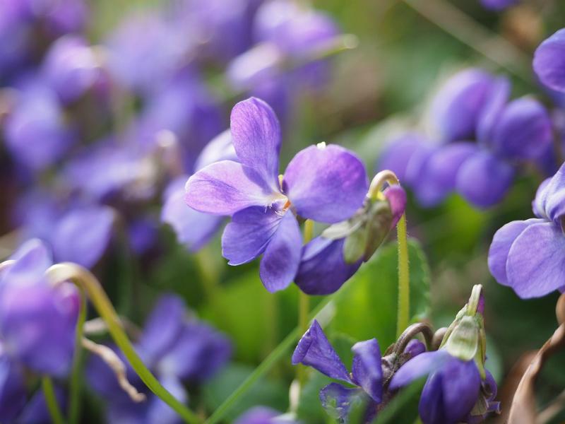 Aroma flor azul