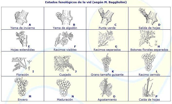 Estados fenológicos de Baggiolini