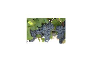 Racimo de uva tempranillo