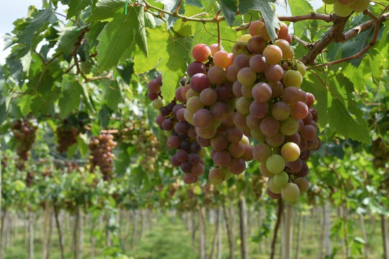 Envero en el viñedo