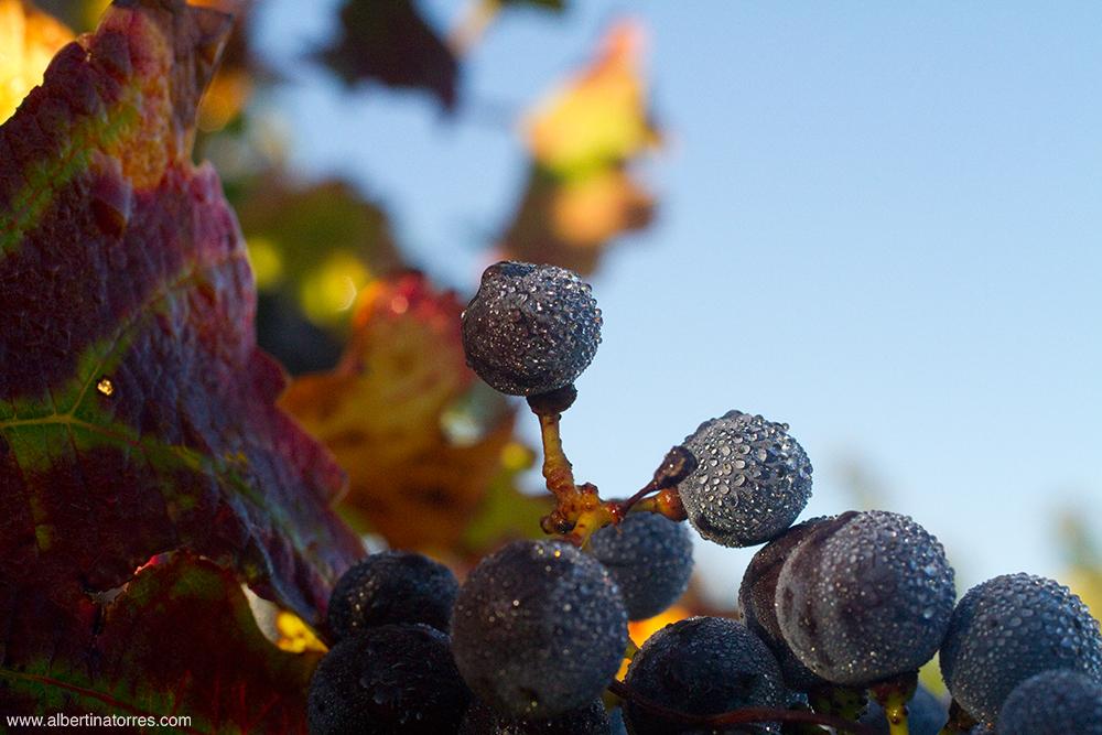 Granos de uva