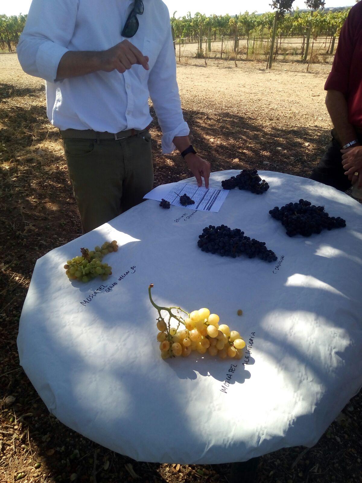 Uvas de cata