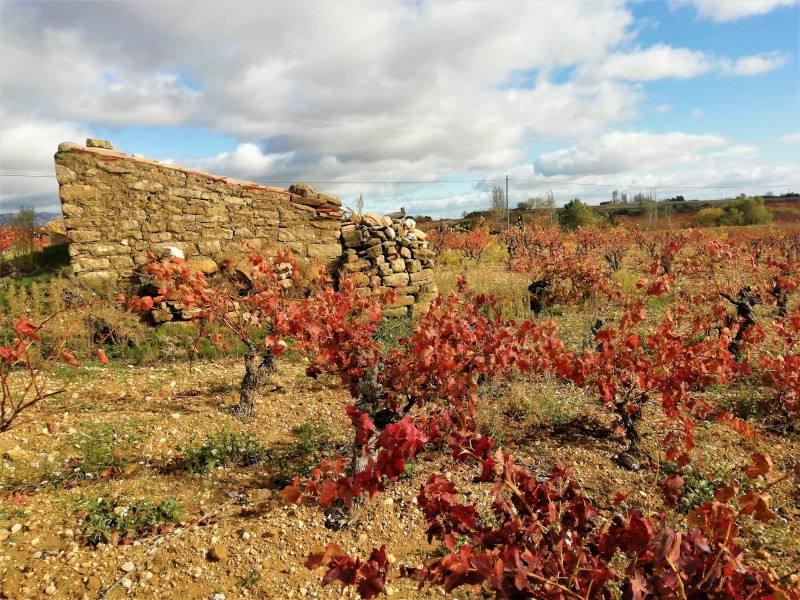 viñedo cerca de Laguardia en otoño