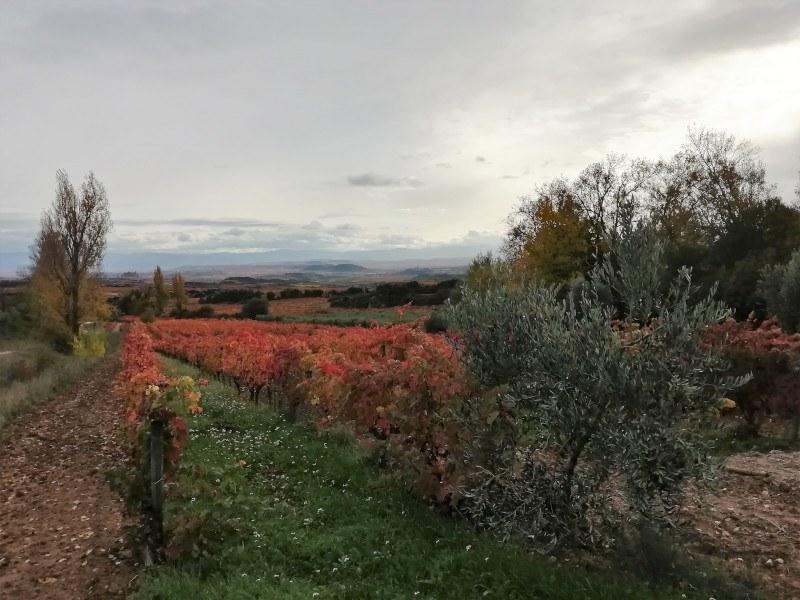 Viñedo en otoño cerca de Labastida en Rioja alavesa